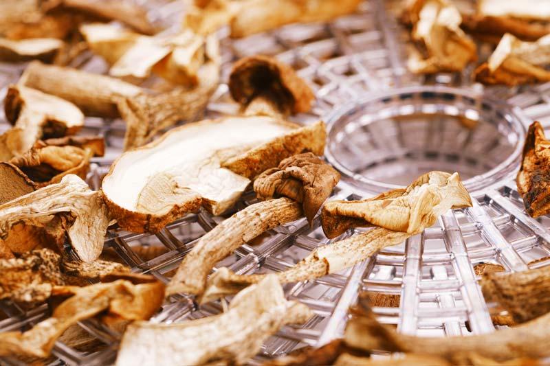 Pilze trocknen auf dem Dörrgitter eines Dörrautomaten
